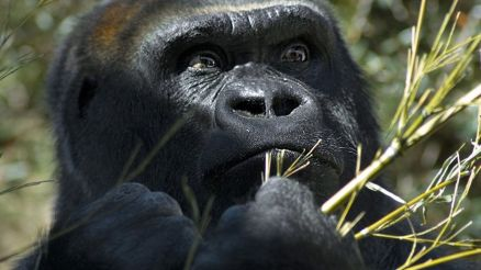 gorilas-macho-lider-incuestionable-grupo_82001895_223099_1706x960
